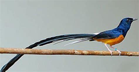 Trucker Bird Murai Batu budidaya burung cara membedakan murai batu medan murai batu lung murai batu aceh dan