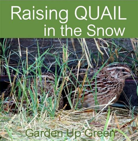 raising backyard quail 1000 ideas about raising quail on pinterest quail coop