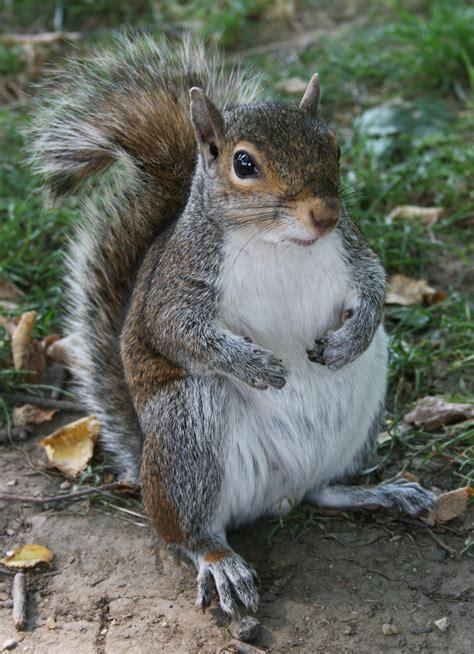 squirrel images file common squirrel jpg