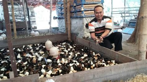 Bibit Ayam Jowo membeli doc ayam kung teliti sebelum