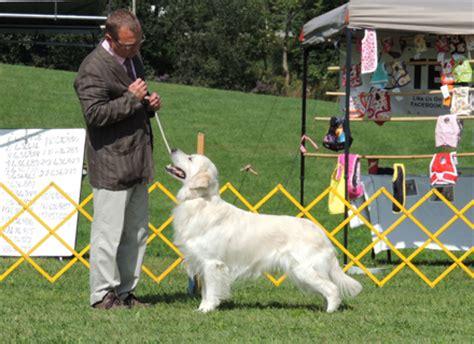 golden retriever fail golden retriever obedience fail dogs in our photo