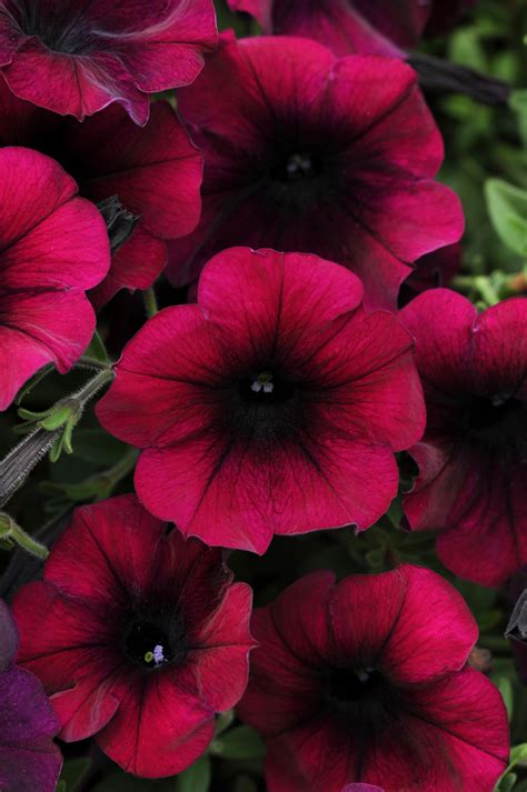 easy wave burgundy velour spreading petunia plant library pahl s market apple valley mn