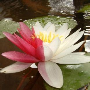 ninfea fiore pianta ninfea consegna piante domicilio