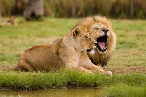 lions roar think you know where lions live let s explore their habitat