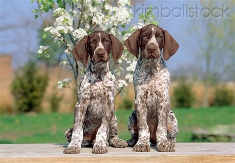 german shorthaired pointer puppies california german shorthaired pointer puppies stuff