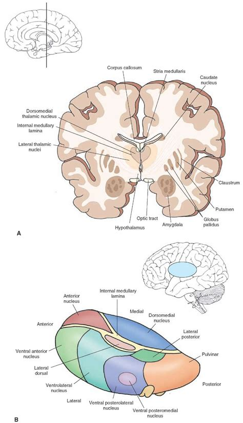 cross section of brain the forebrain organization of the central nervous system