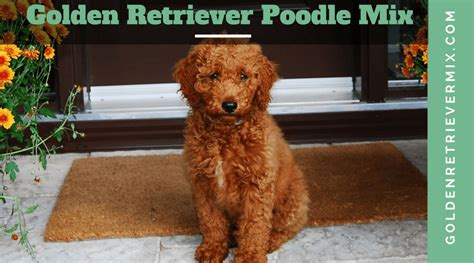 what is a golden retriever and poodle mix called golden retriever poodle mix goldendoodle hybrid puppies