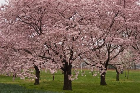 cherry blossom tree facts facts about the okame cherry tree
