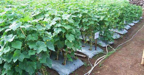 Pepaya California Hibrida budidaya mentimun tanam sayuran