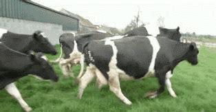 imagenes gif vacas gif animado 10166 vacas corriendo en vacas reygif