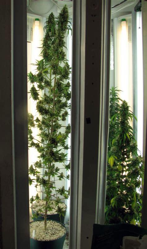 cannabis plants  side lighting grow weed easy