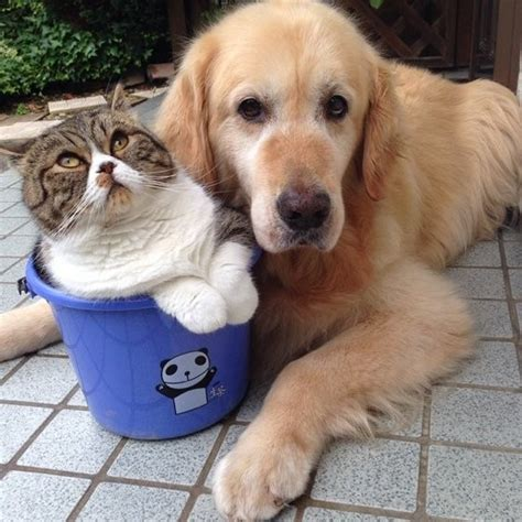 cat and golden retriever cat and golden retriever an inseparable bond meow