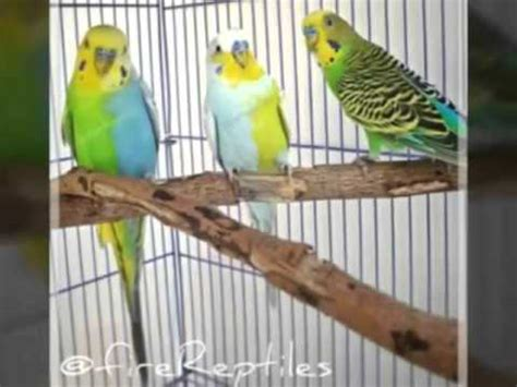 budgie colors budgies with colors