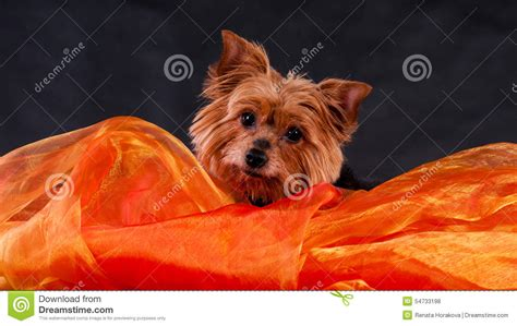 what is the best yorkie terrier shoo out there and condistioner yorkshire terrier stock photo image 54733198