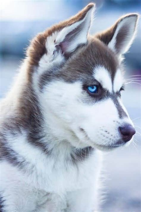 husky wallpaper blue eyes 49 siberian husky dog pictures images wallpapers picsmine
