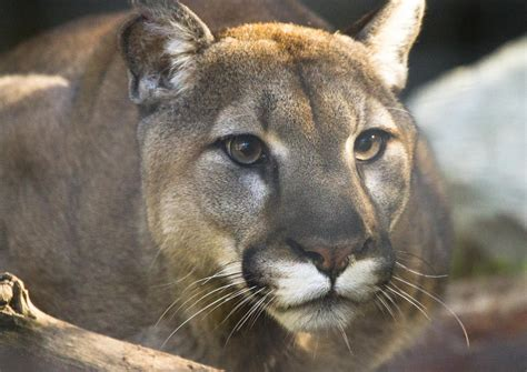 reset nvram mountain lion predators come back to iowa iowa public radio