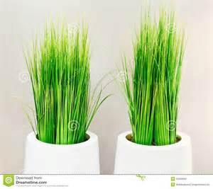 decorative green grass in white vases stock photo image