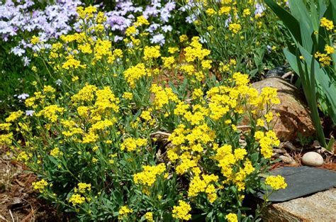 yellow alyssum flowers the perennial basket of gold