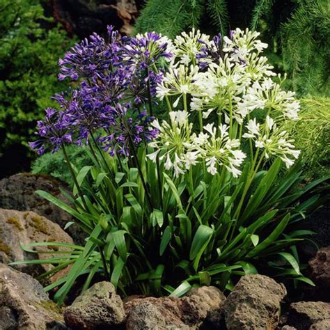 Aliexpress Com Buy African Lily Agapanthus Lily Of The Buy Garden Flowers