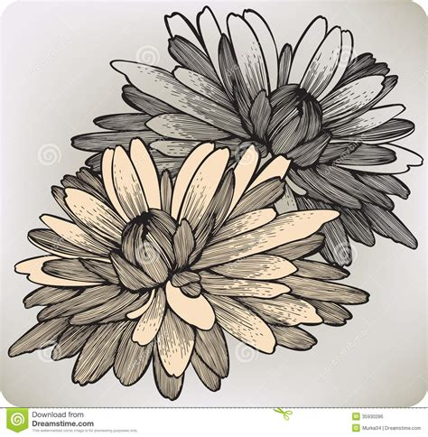 chrysanthemum flower hand drawing vector illustr royalty
