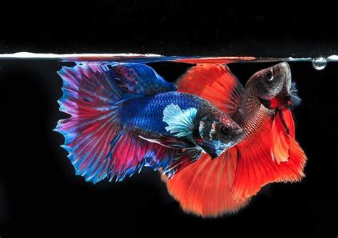 Pakan Burayak Ikan Laga cara budidaya ikan cupang untuk pemula lengkap dengan gambar