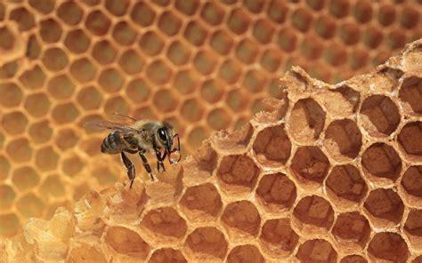 fonds decran alveole dabeille abeilles animaux