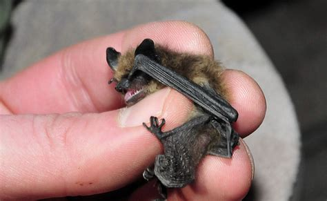 eastern small footed bat myotis leibii flickr photo