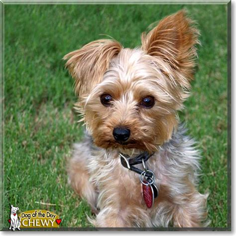 when do yorkies ears stand yorkie ears up with for