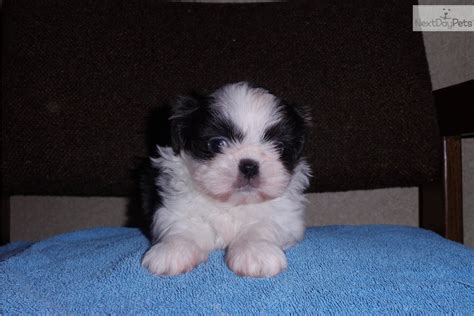 shih tzu puppies for sale in knoxville tn shih tzu for sale for 1 200 near knoxville tennessee d0859289 b761