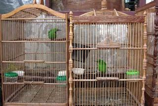 Ruji Sangkar Burung Putih hikayat mengenali burung cucak ijo mania
