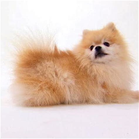 dogs 101 pomeranian pomeranian dogs 101 animal planet