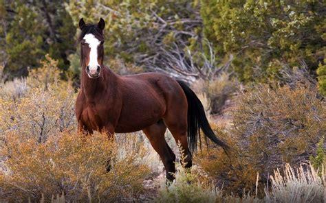 mustang wild horse  nature originated  spanish