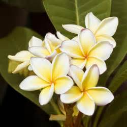 plumeria flower 5 things about plumeria flowers