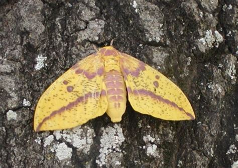scow moth common large moths texas insect identification tools