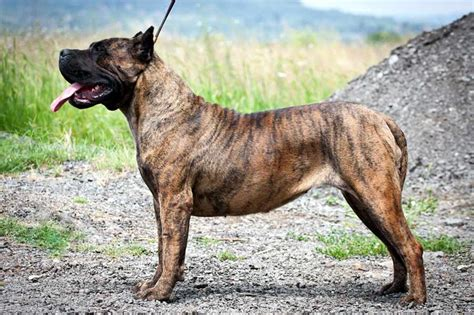 dogo dogs canary island images frompo 1