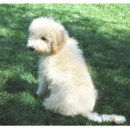 goldendoodle puppies nc rescue goldendoodle world goldendoodle breeder in cleveland carolina listing id 14778
