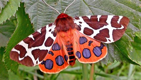 Garden Tiger Moth by Moth Bat Researcher To Present Distinguished Lecture