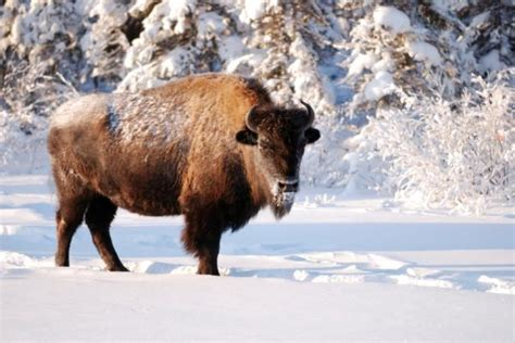 Wood Dinner Table New National Survey Says Public Reveres Bison Sciencedaily