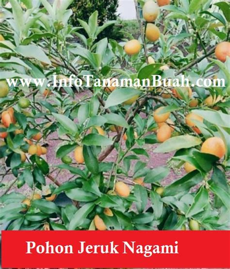 Harga Bibit Jeruk Nagami bibit jeruk nagami jeruk asal jepang yang dapat dimakan