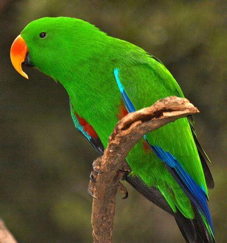 eclectus parrot the life of animals