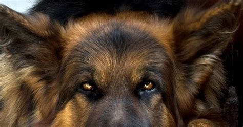 dogs that look like german shepherds this looks like mine german shepherds are so loving i