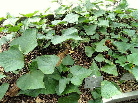 file batata doce ipomoea batatas jpg file ipomoea batatas copenhagen botanical garden