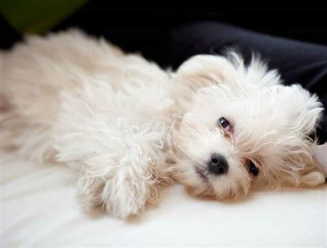 alimentazione cani maltesi maltese pelo corto cani taglia piccola razza maltese