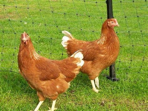 Chicken Cottage For Sale by Pol Cottage Goldlines Bridgwater Somerset Pets4homes
