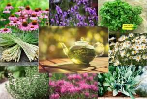 grow your own herbal tea garden 12 herbs to get your started