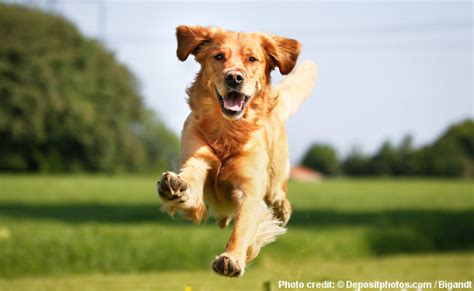 golden retriever articles golden retriever health and care
