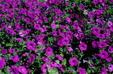 plantanswers plant answers gt bush petunia