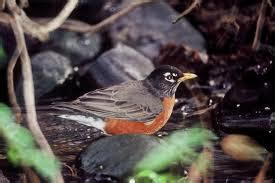 what do american robin bird eat what do robins eat robins diet