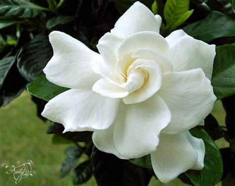 Gardenia Meaning Gardenia Flower Meaning Dictionary Auntyflo