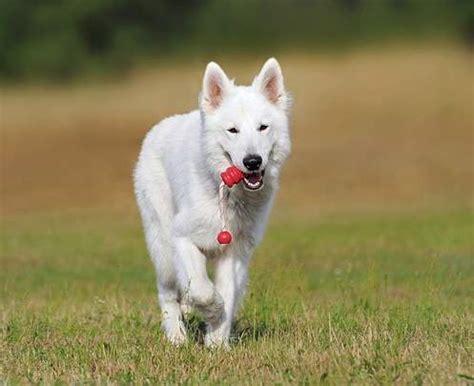 swiss shepherd puppies white swiss shepherd breed profile